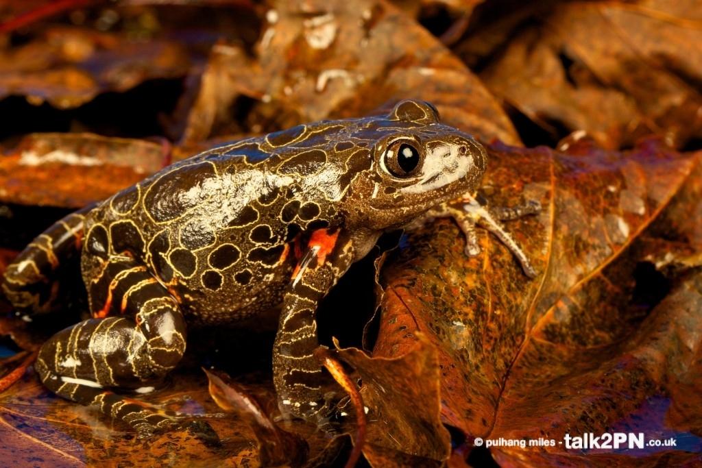 Tiger Leg Frog in profile