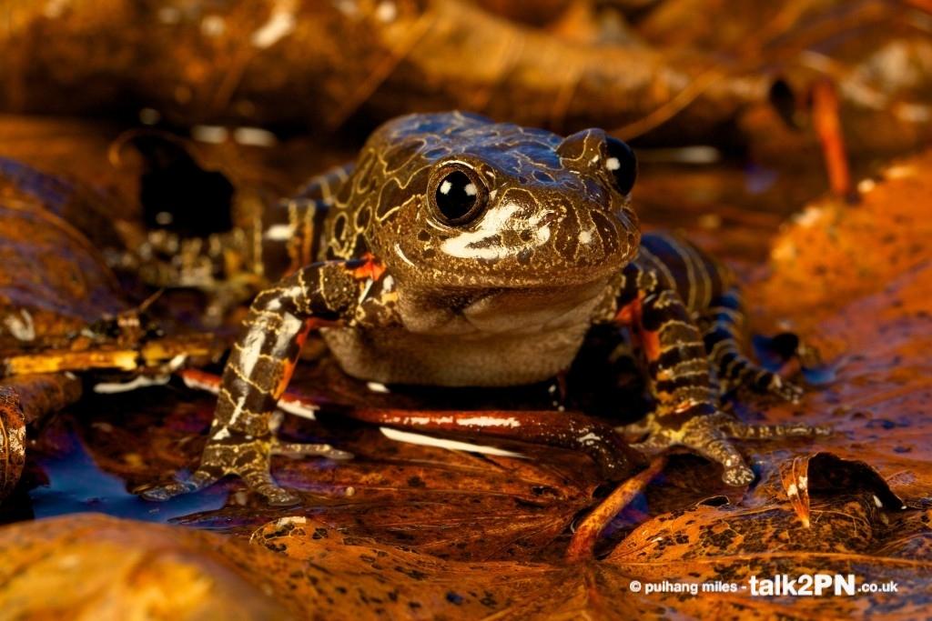 Tiger Leg Frog sat on wet leaves