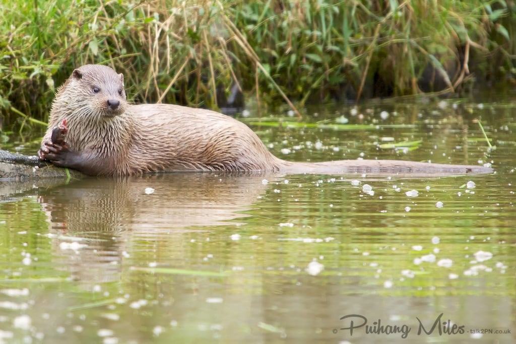 British otter holding a half eaten fish in his claws