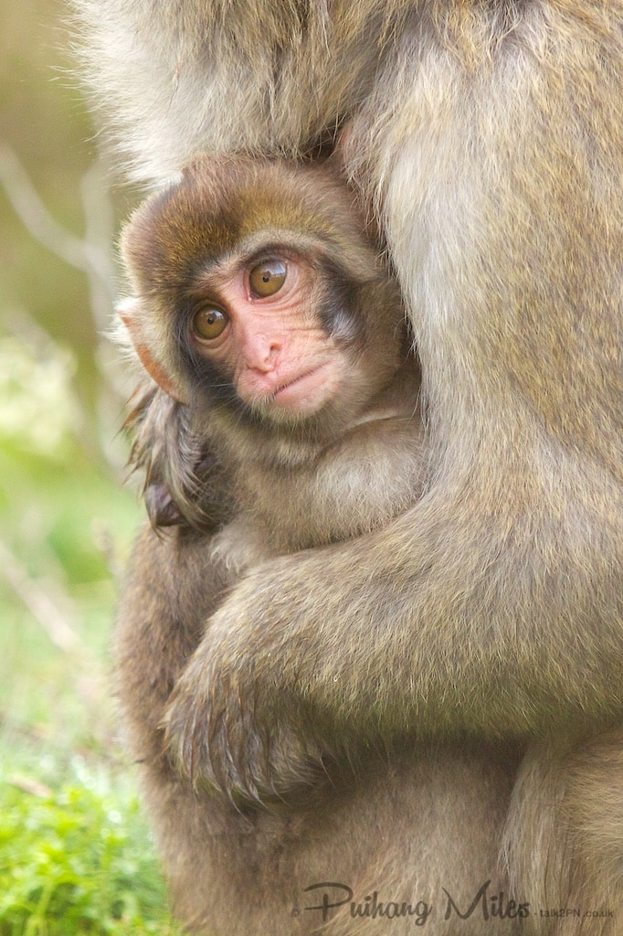 Baby Macaque at Highland Wildlife Park
