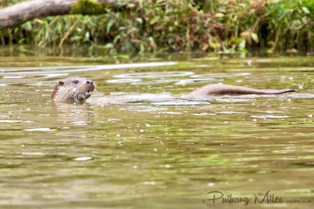 Tamar Otter swimming