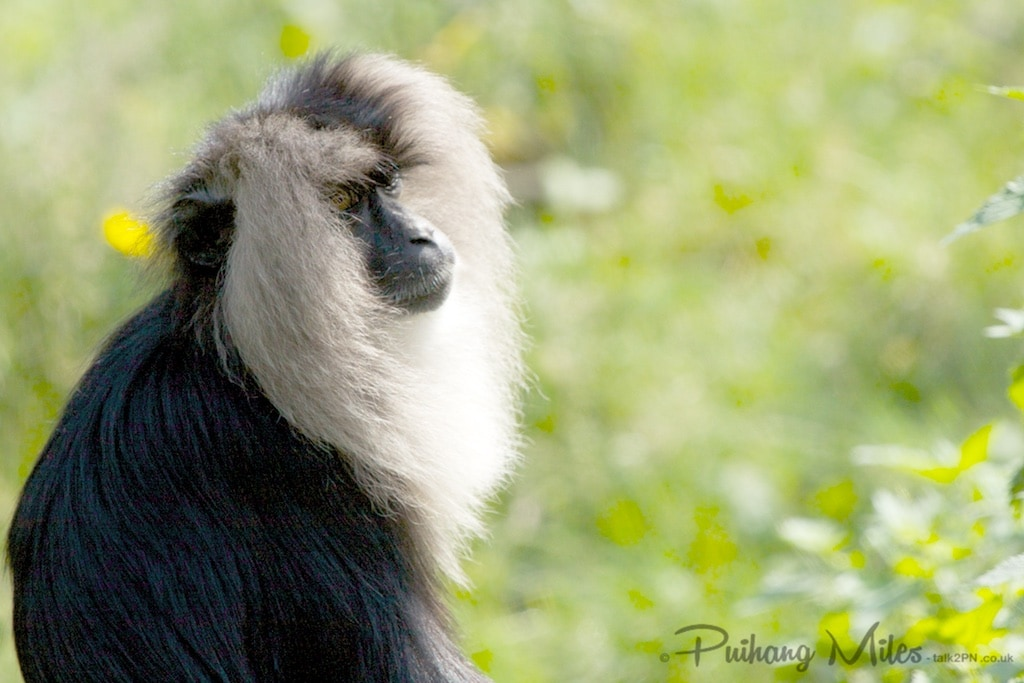 Lion Tailed Macaque with windswept hair