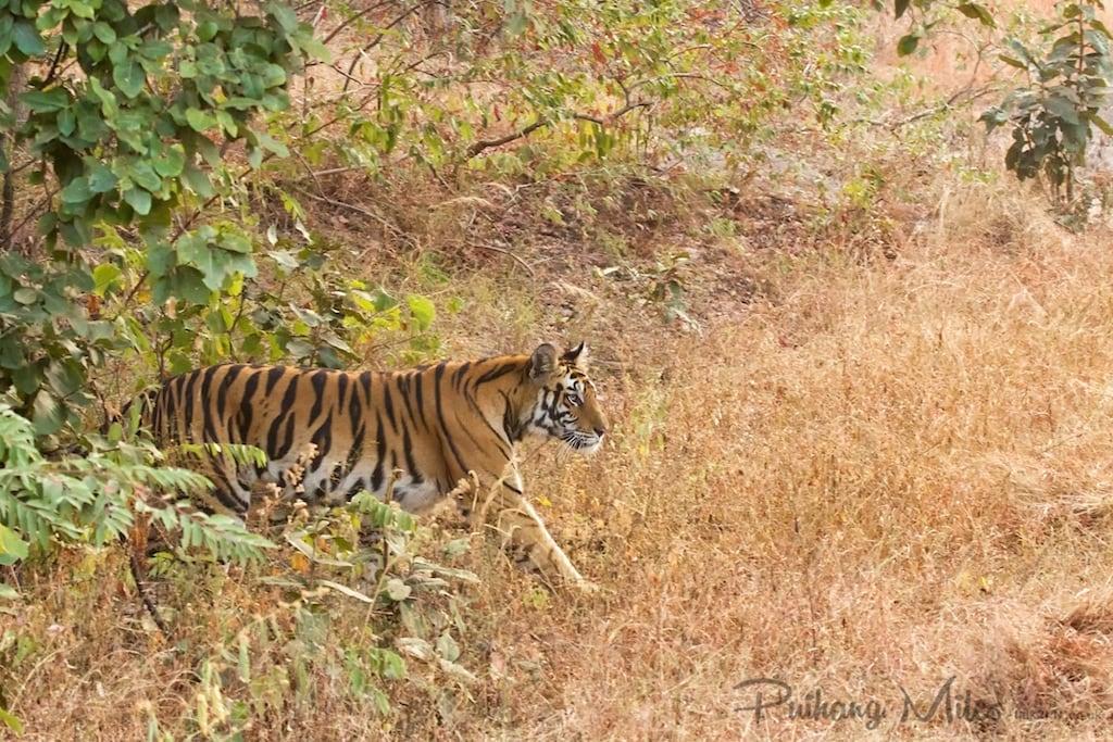 Benbai tigress of Bandhavgarh