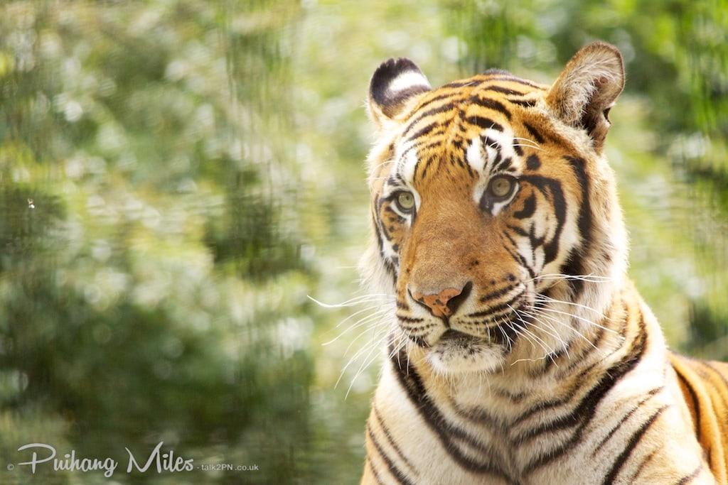 Bengal Tiger of Port Lympne