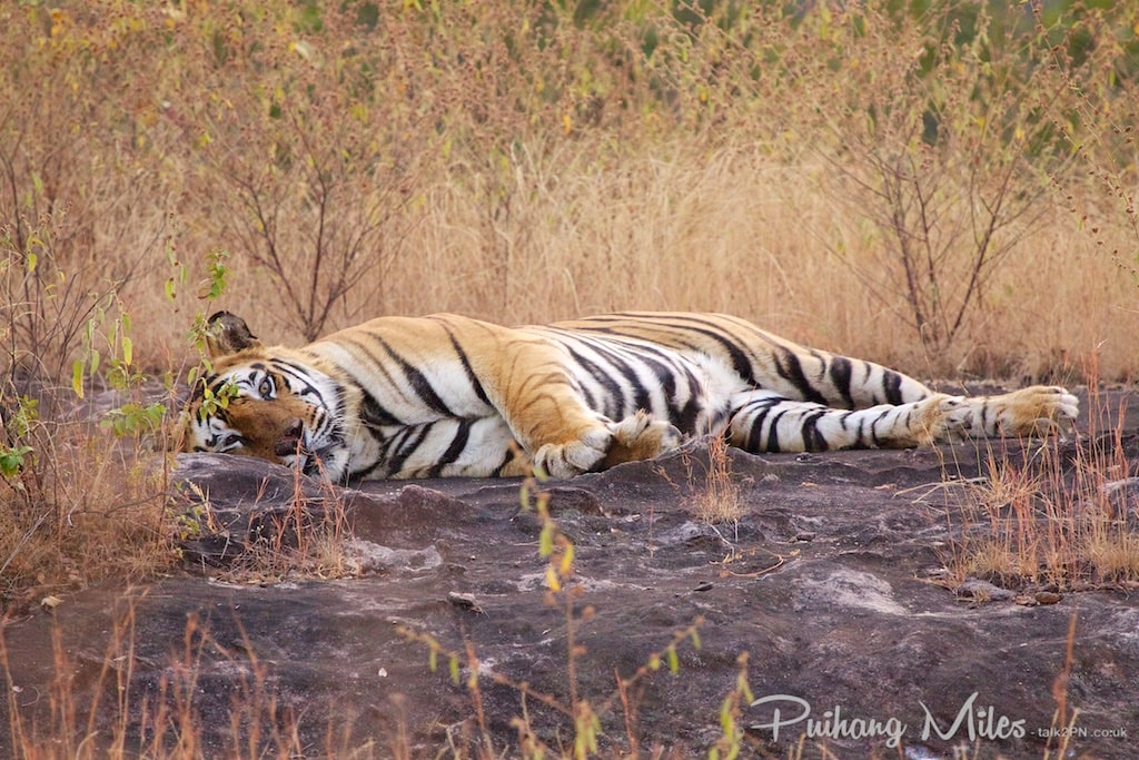 Bhamera resting in Bandhavgarh park