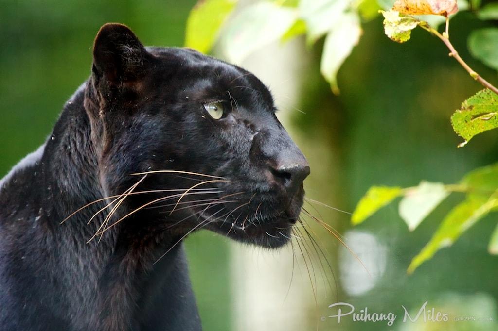 Black Leopard photographed at Le Parc Des Félins