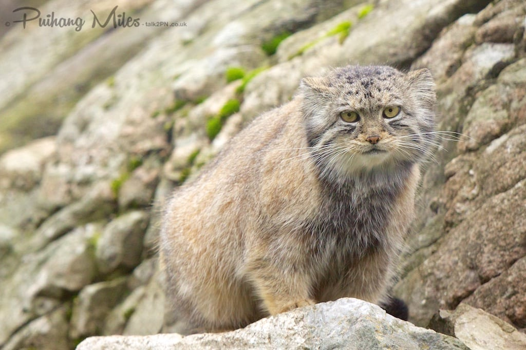 Pallas Cat standing on rocky outcrop