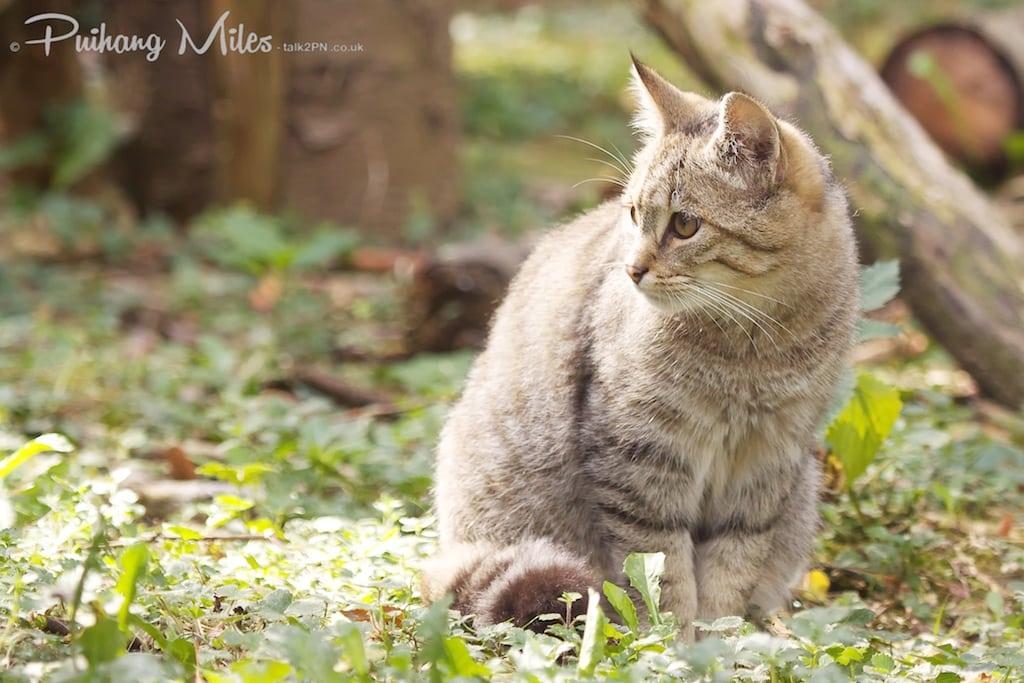 European wildcat photographed at Le Parc des Felins