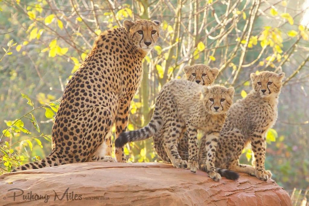 Cheetah family posing on a rock