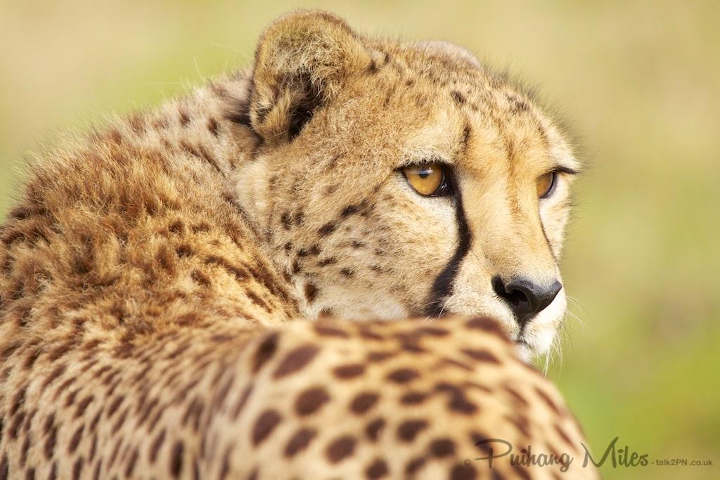 Cheetah looking over his shoulder