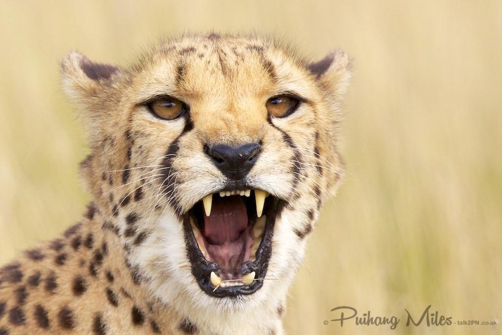 Cheetah snarl photographed at Hamerton Zoo