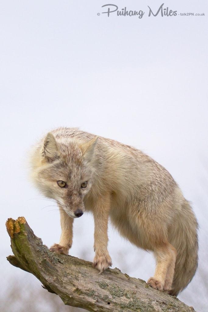 Corsac fox standing on tree branch
