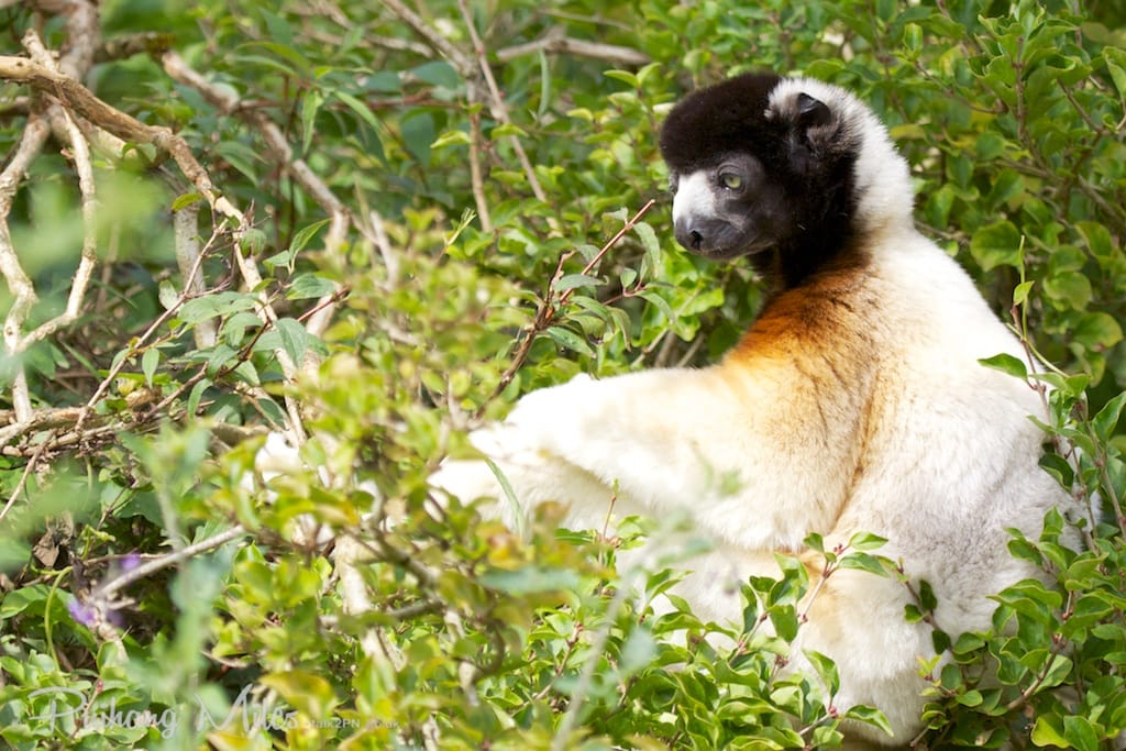 Crowned sifaka sitting in tree at Cotswold Wildlife Park