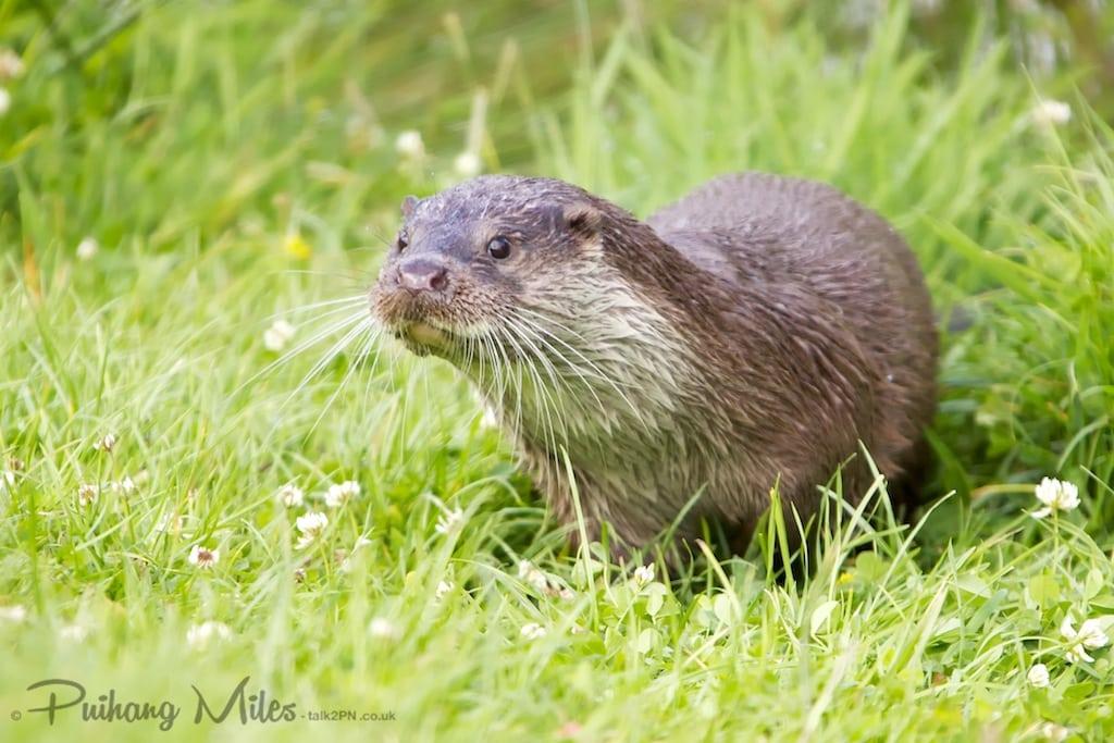 cute british wildlife otter