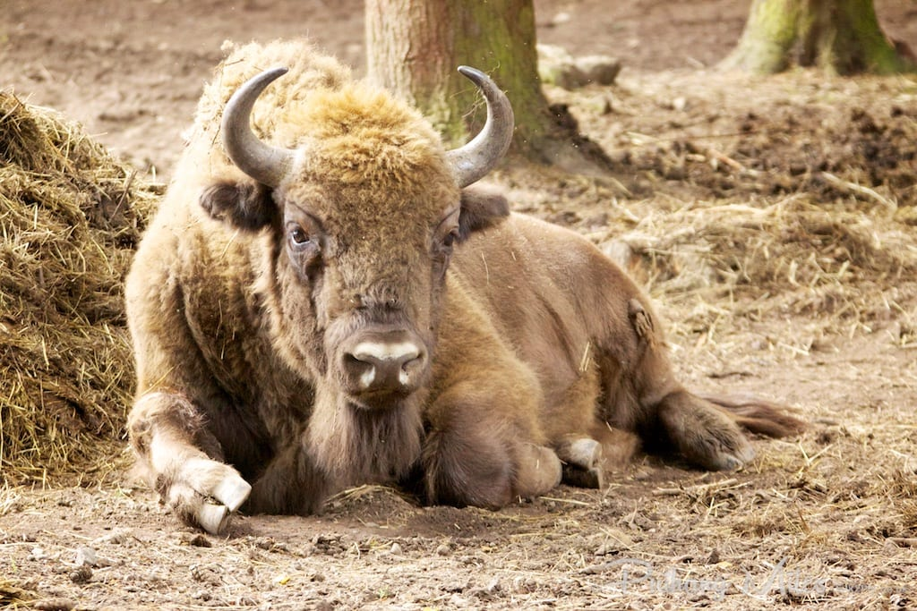 Bison photographed at the Wildwood Trust