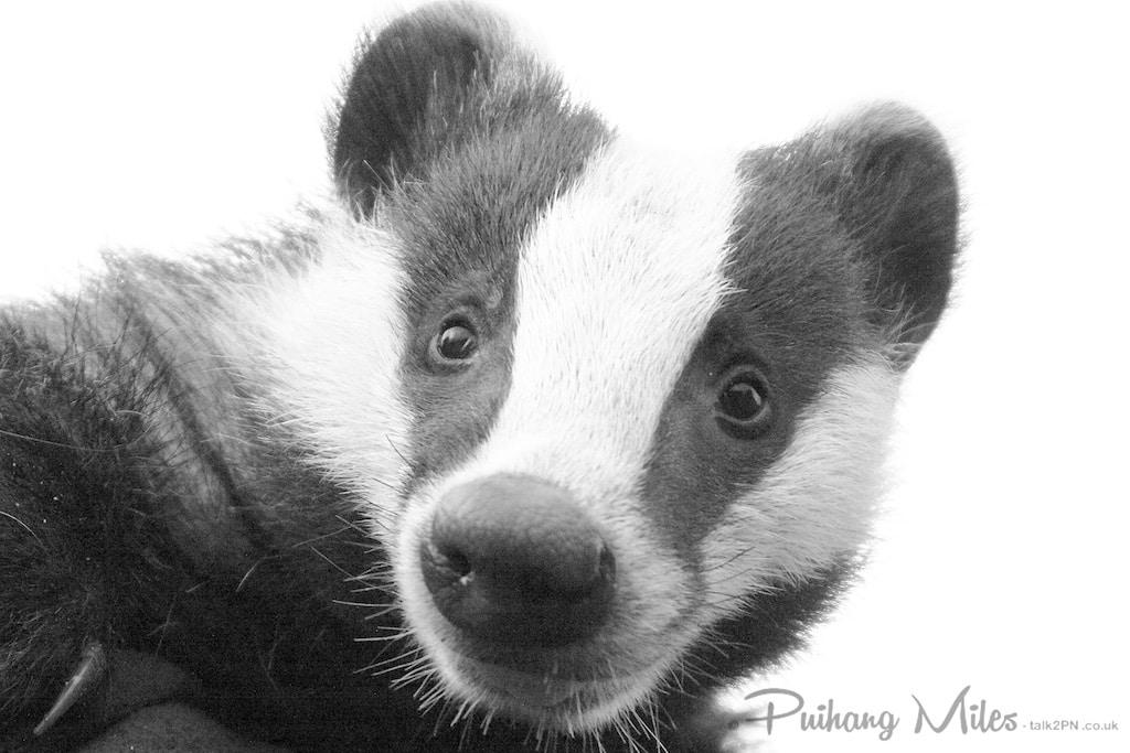 British wildlife badger cub