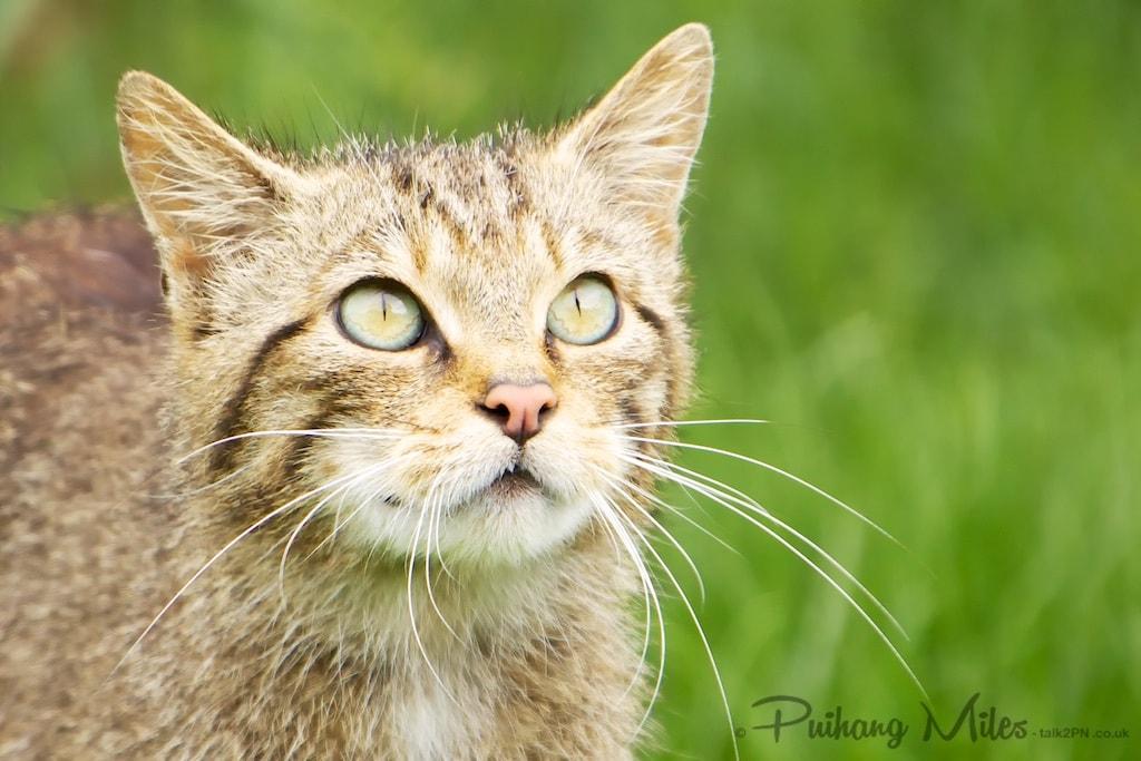 beautiful british wildlife wildcat