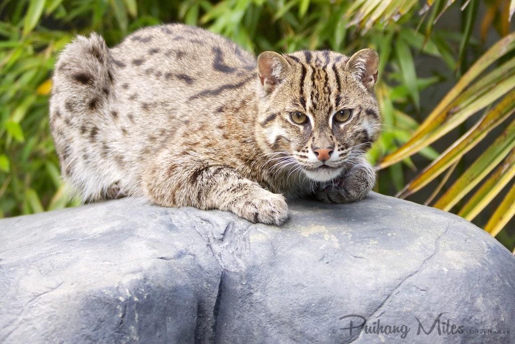Fishing cat on rock