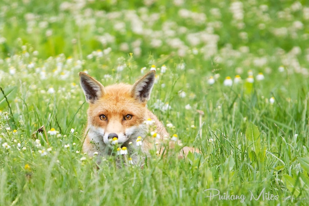 British red fox in a field of flowers