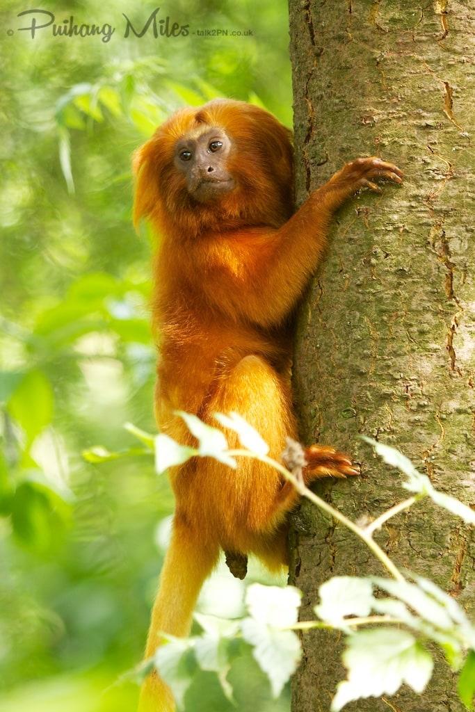 Golden Lion Tamarin in tree at Apenheul Primate Park
