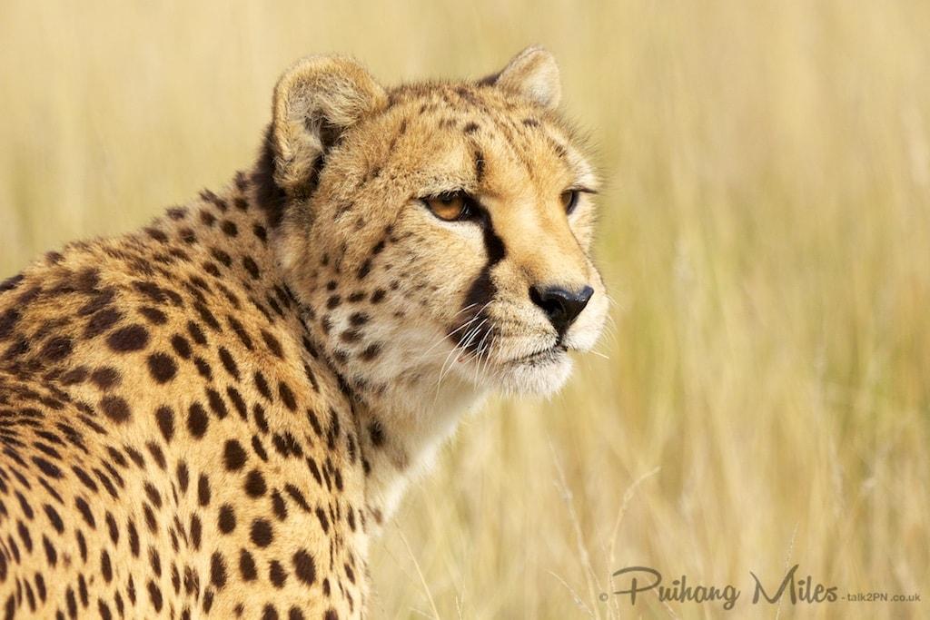 Cheetah head shot from Hamerton Zoo
