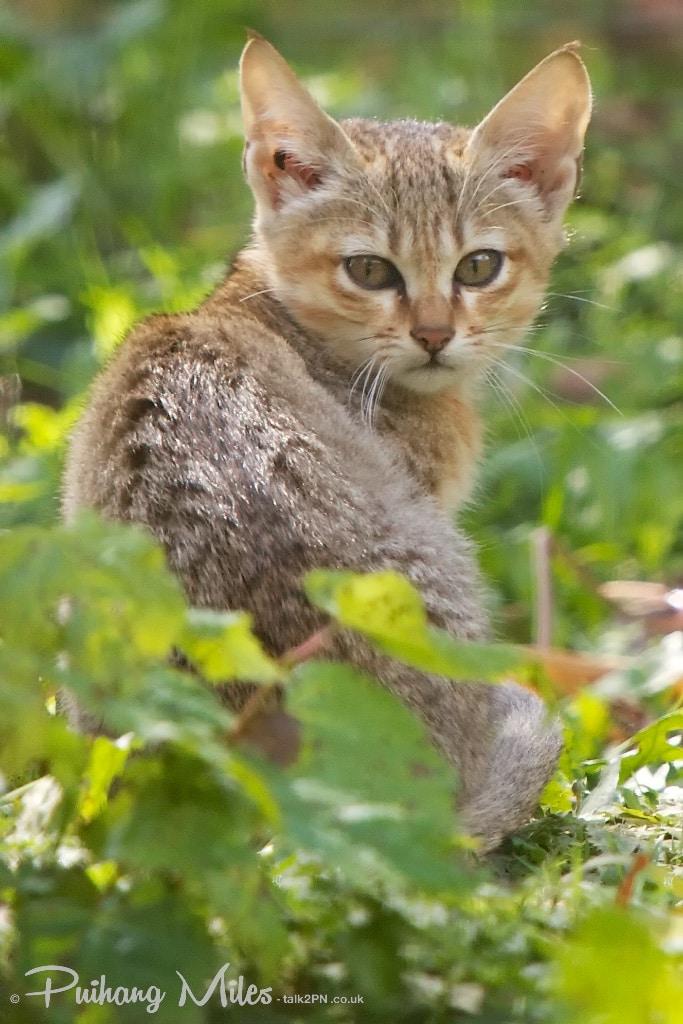 Gordon's Wildcat kitten from Le Parc des Félins