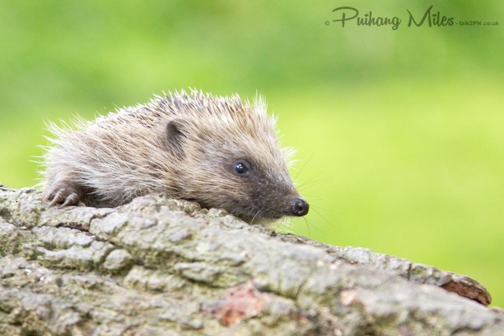 Hoglet on the log