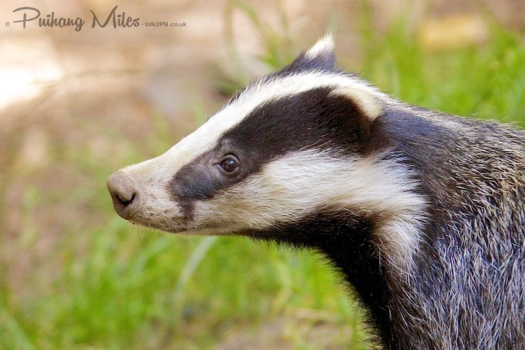 Inquisitive badger cub
