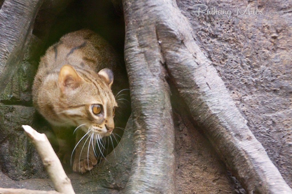 Rusty spotted cat emerging from tree hole
