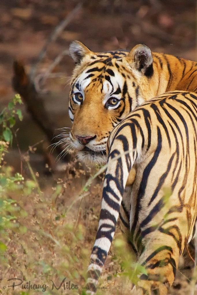 Jhurjhura Male Tiger in Bandhavgarh