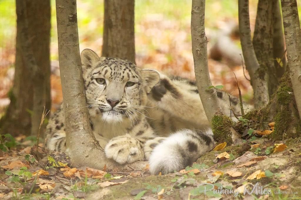 Lounging snow leopard cub