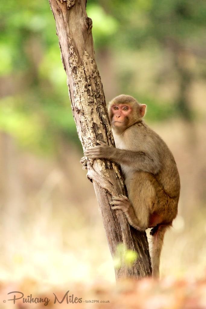 Macaque hugging tree