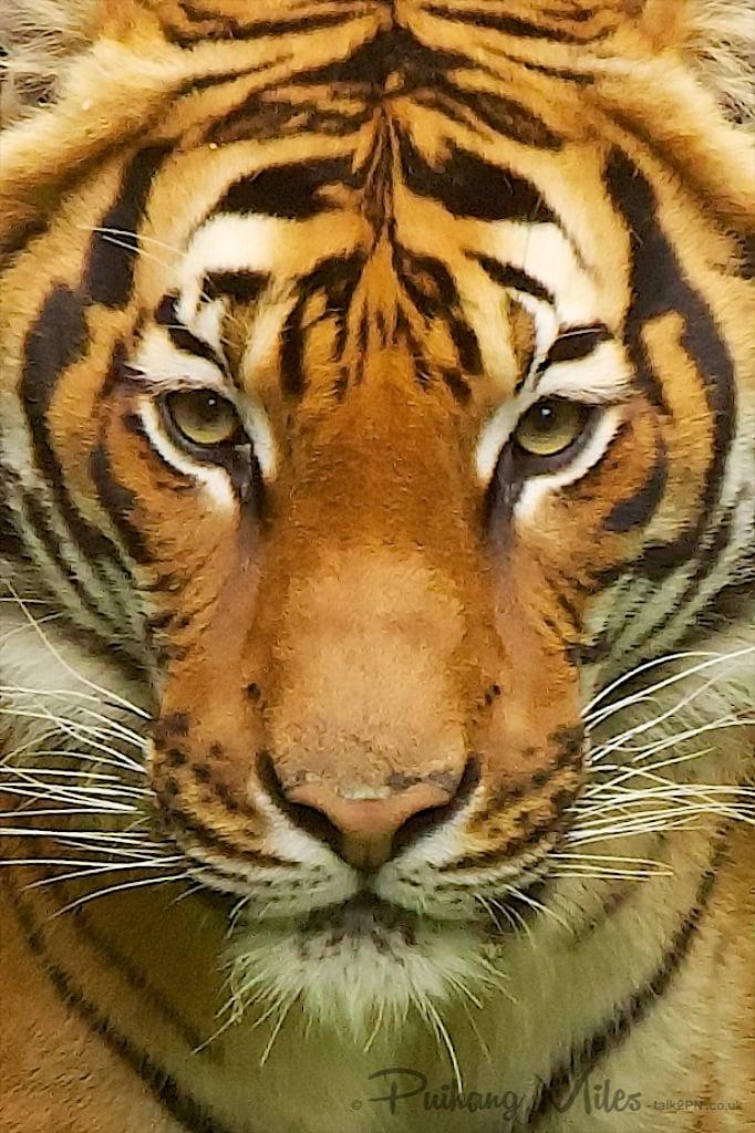 Malayan Tiger close-up