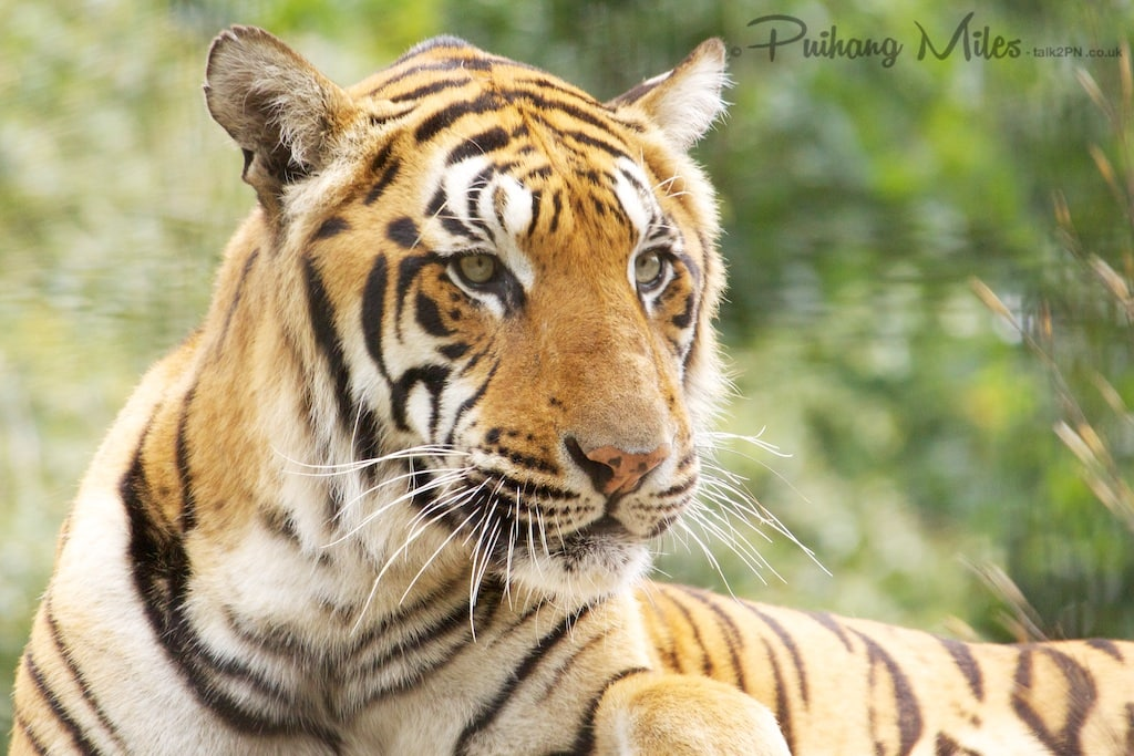 Male Bengal Tiger