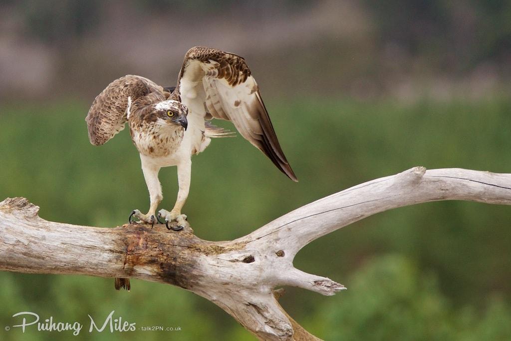 Male Osprey pre-flight