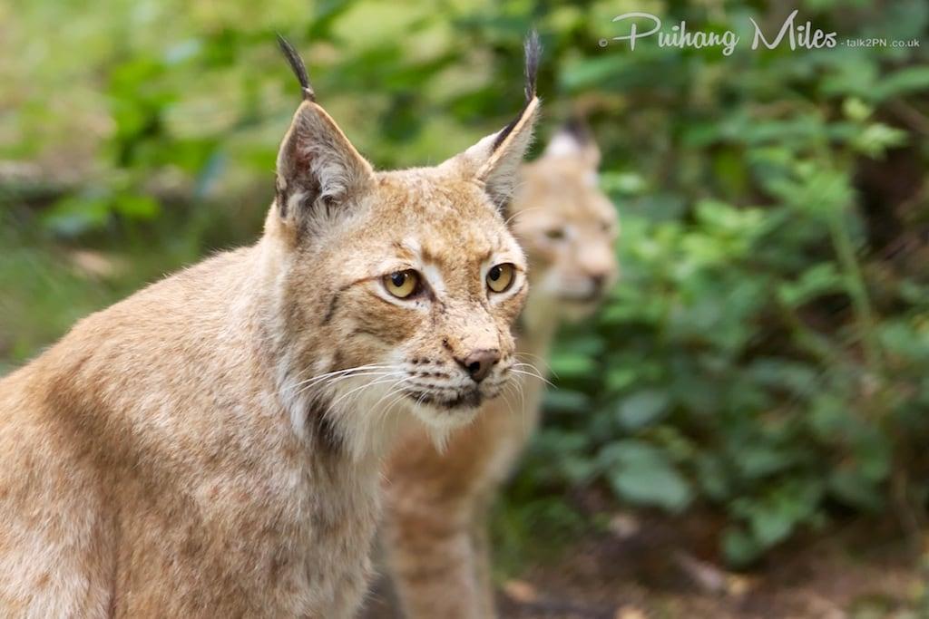 Lynx sisters