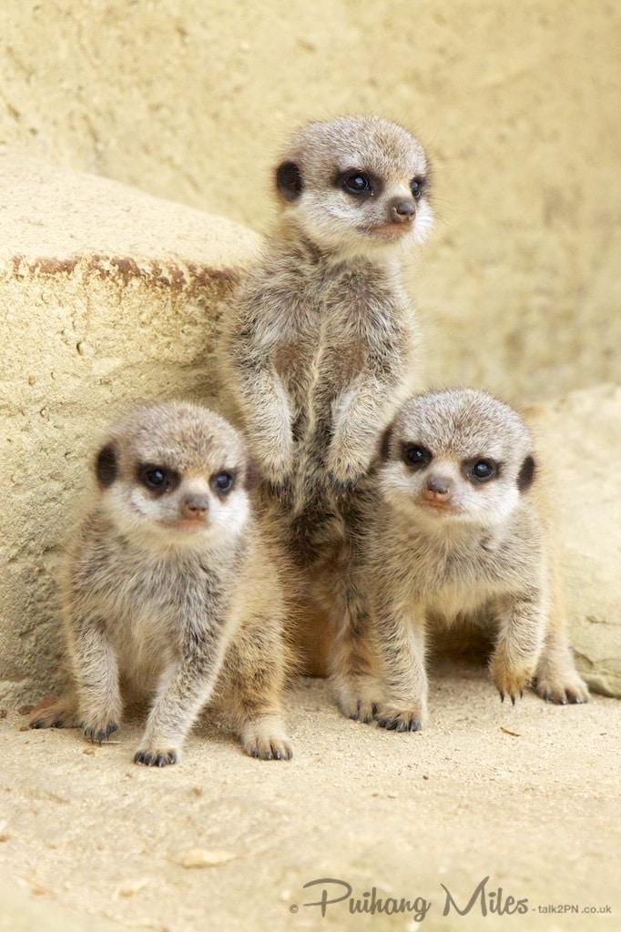 Three meerkat kittens posing