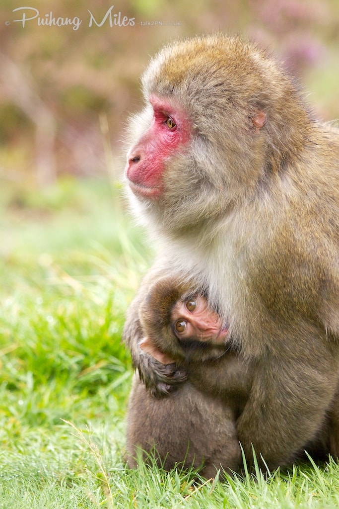 Mother and baby macaque at Highland Wildlife Park