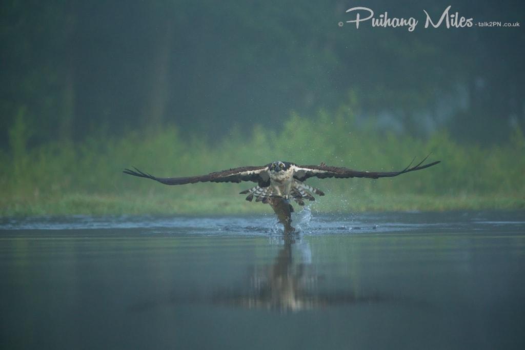 Osprey fishing in the fog at Rothiemurchus