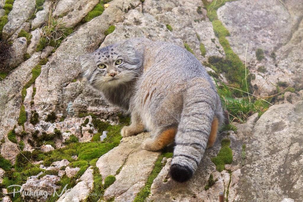 Pallas Cat on the rocks