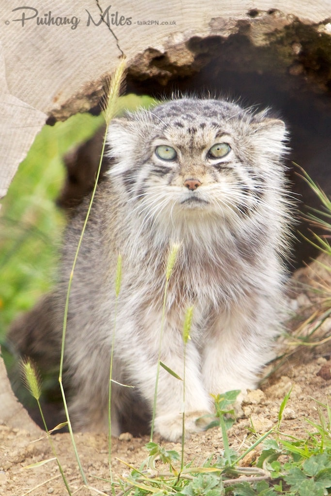 Pallas cat emerging from tunnel at Port Lympne