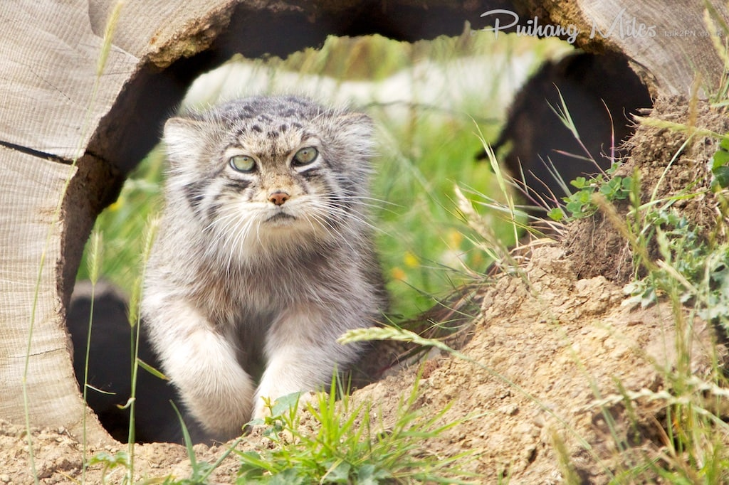 Pallas cat running out of tunnel