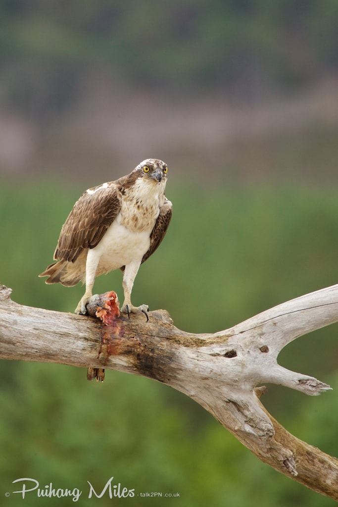 Perched Osprey with fish