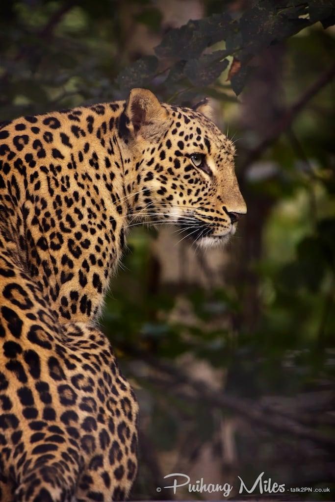 Persian Leopard as photographed at Le Parc des Félins