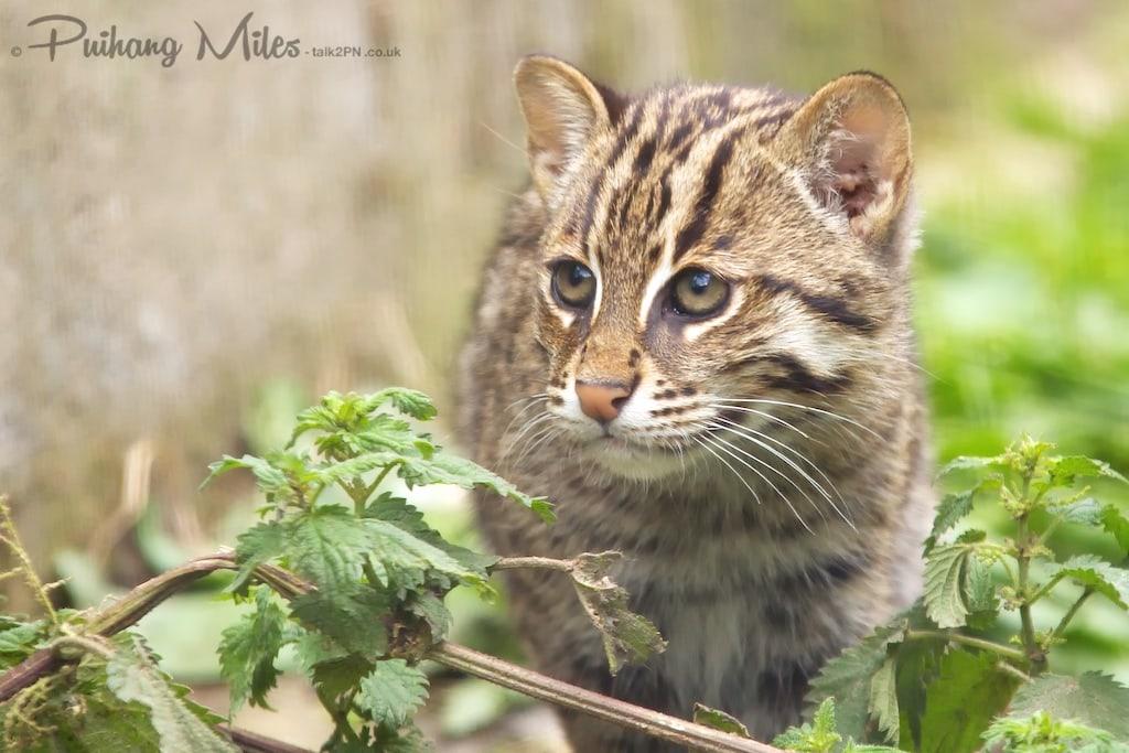Shy fishing cat kitten