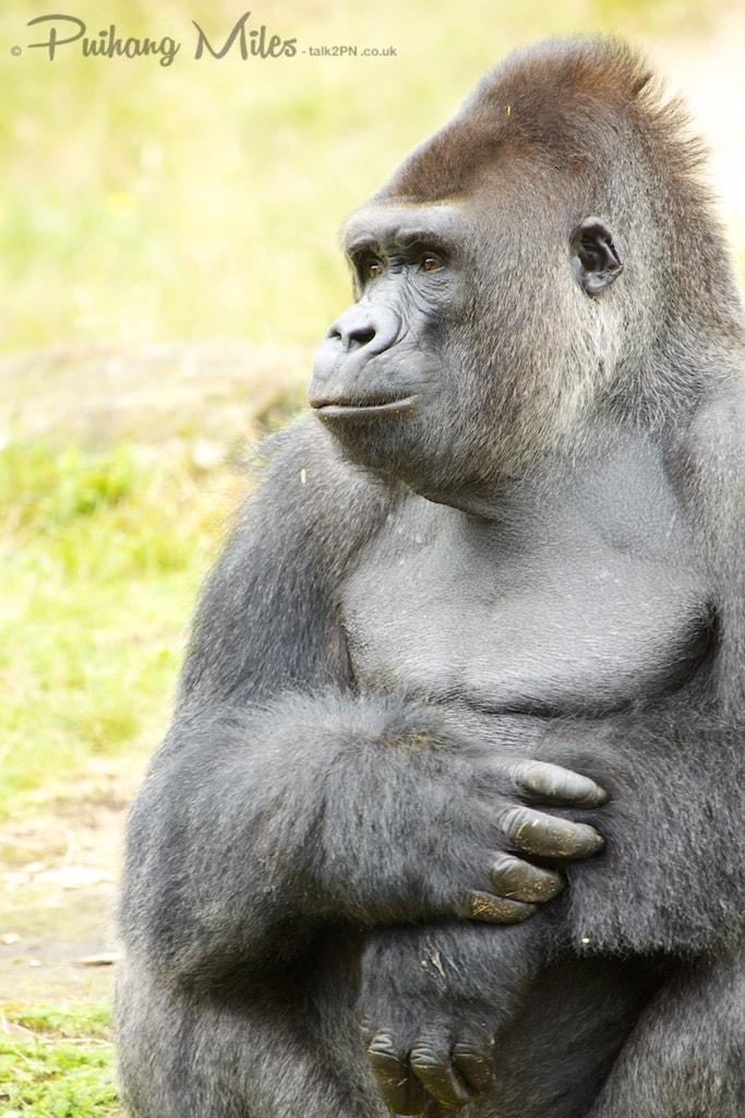 Silverback gorilla at Apenheul Primate Park