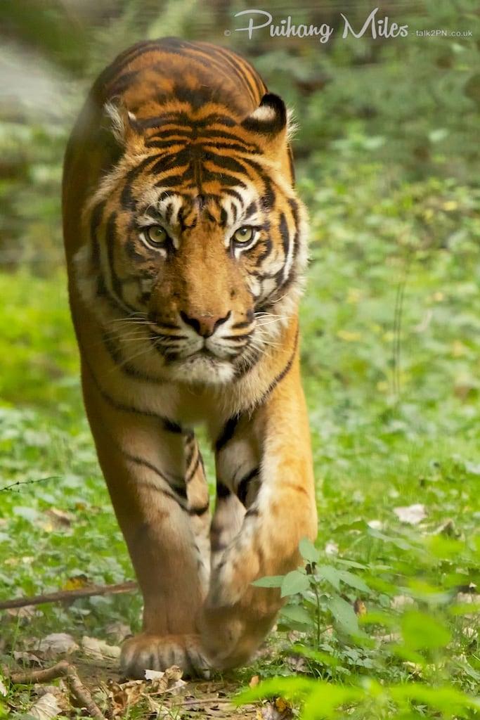 Sumatran Tiger in Le Parc des Félins