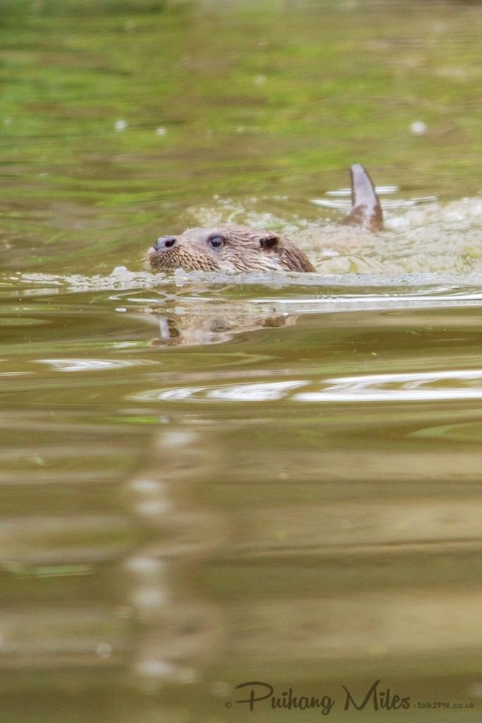 Tamar Otter swimming in river