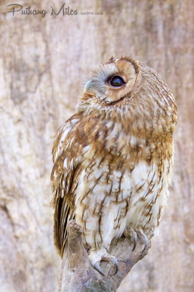 Tawny Owl looking up