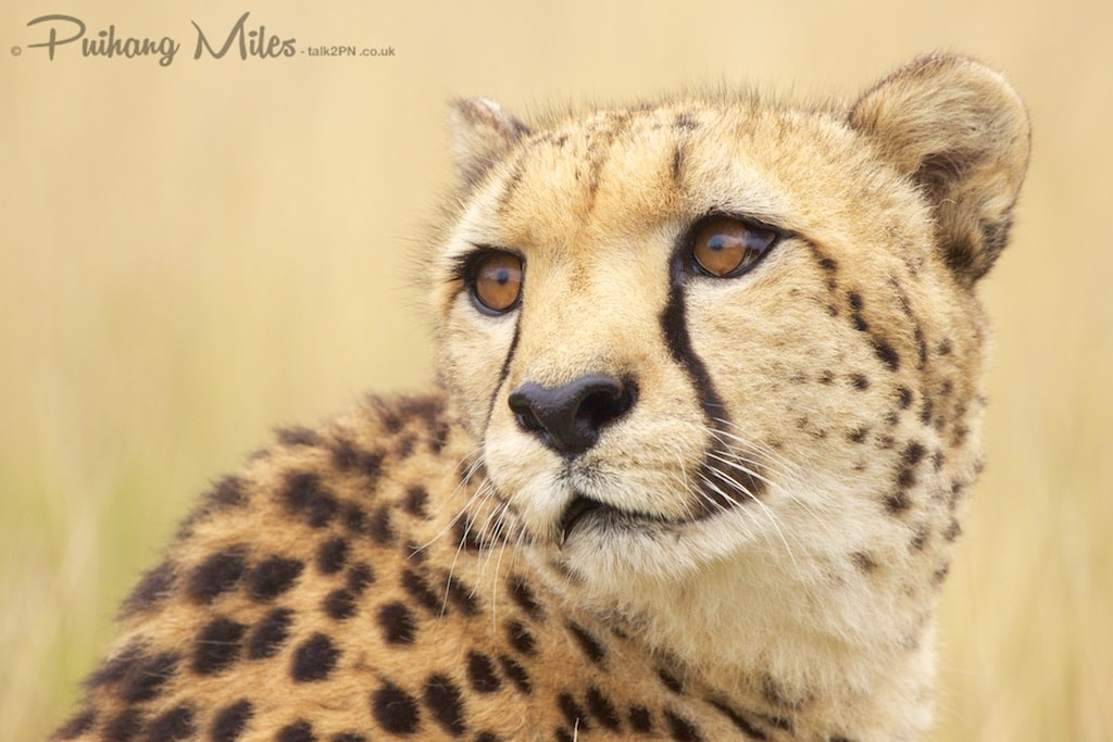 Close-up of cheetah looking over his shoulder